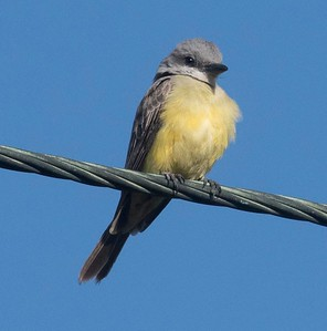 DSC_1871 Tropical Kingbird 3-25-17 Famosa