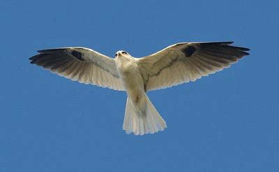 EGK_3102 White-tailed Kite FRNC 9-27-2012