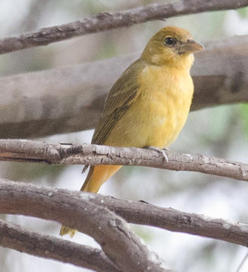 Summer Tanager Balboa Park 11-21-12 (Paul Lehman's bird)