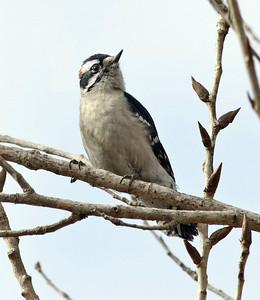 Downy Woodpecker 1-30-11 BBG