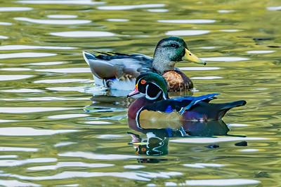 A Pretty Duck