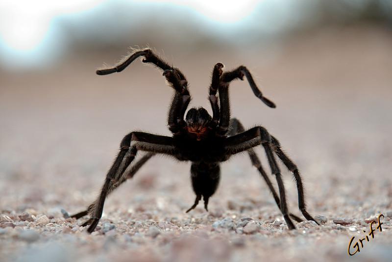 Tarantula*