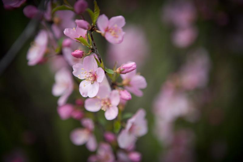 UofG Arboretum Cherry Blossoms