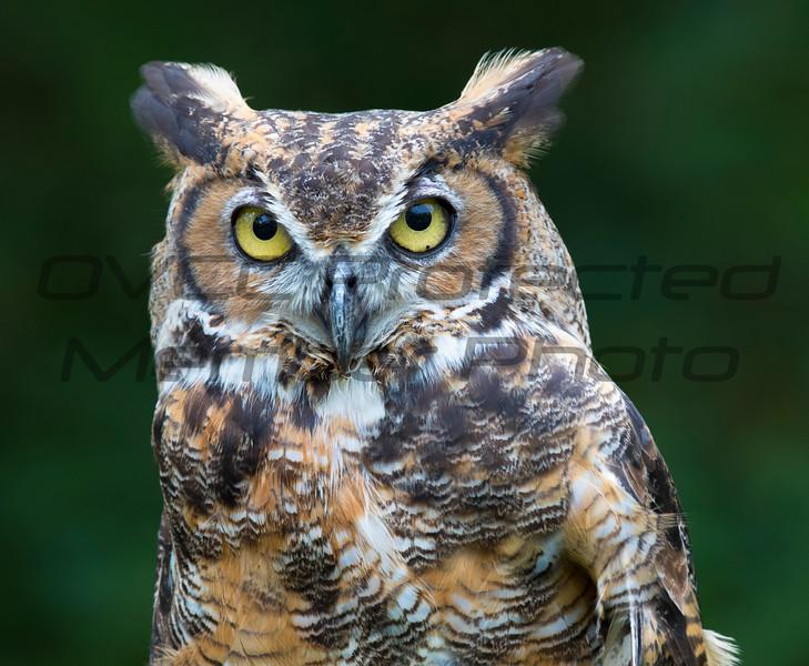 Great Horned Owl 01 - Jim McMillan: jimmcmillan@prodigy.net
