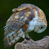 Barn Owl 06  - Jim McMillan: jimmcmillan@prodigy.net