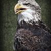 Eli - Bald Eagle
