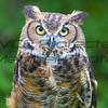 Great Horned Owl 02  - Jim McMillan: jimmcmillan@prodigy.net