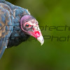 Turkey Vulture 03- Jim McMillan: jimmcmillan@prodigy.net