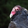 Earl - Turkey Vulture