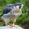 Peregrine Falcon JWM 005