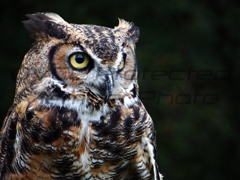 Ollie - Great Horned Owl