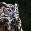 Ollie - Great Horned Owl
