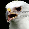 Isis - Leucistic Red-tailed Hawk