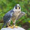 Peregrine Falcon 07 - Jim McMillan: jimmcmillan@prodigy.net