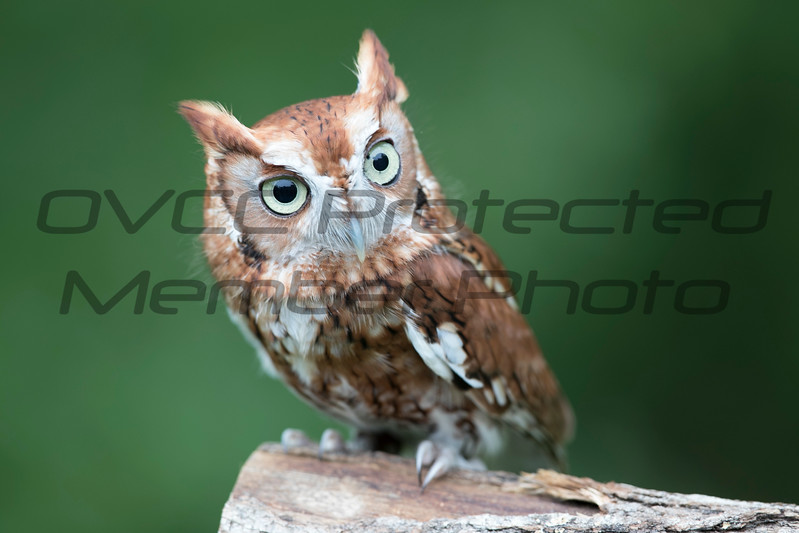 Screech Owl 03 - Jim McMillan: jimmcmillan@prodigy.net