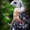 Wildwood - Red-Shouldered Hawk
