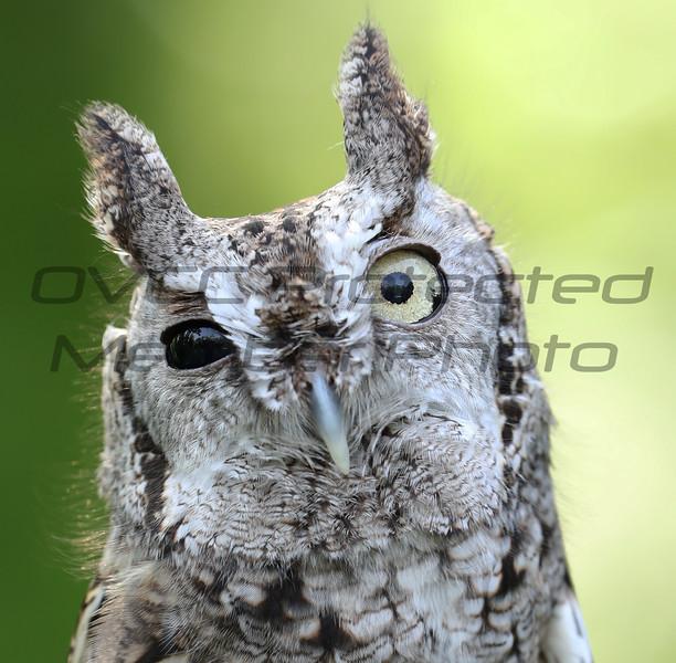 Screech Owl 05 - Jim McMillan: jimmcmillan@prodigy.net