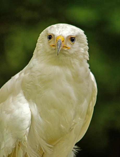 White Hawk - Randy Smith