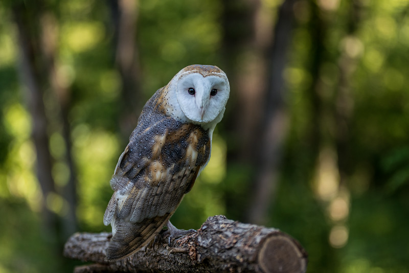 Storm Barn Owl