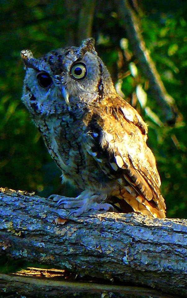 Screech owl     Debra Bertke