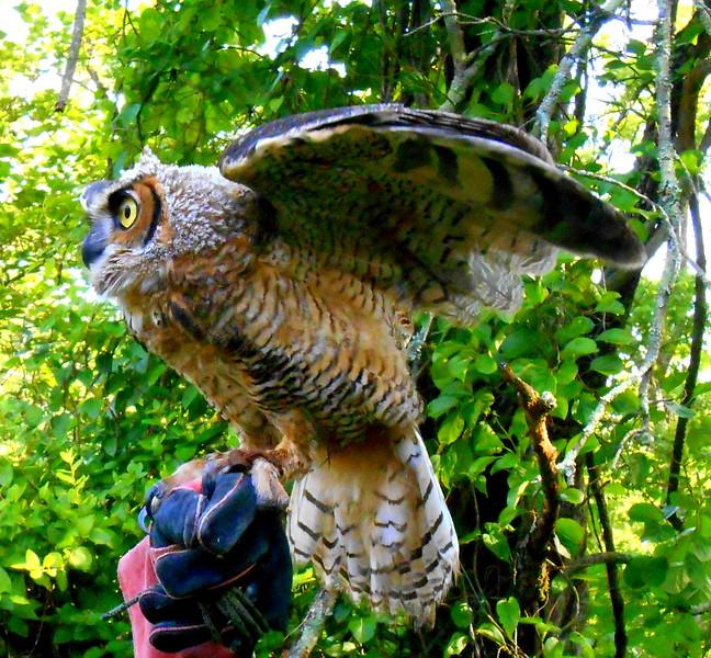 great horned owl               Debra Bertke
