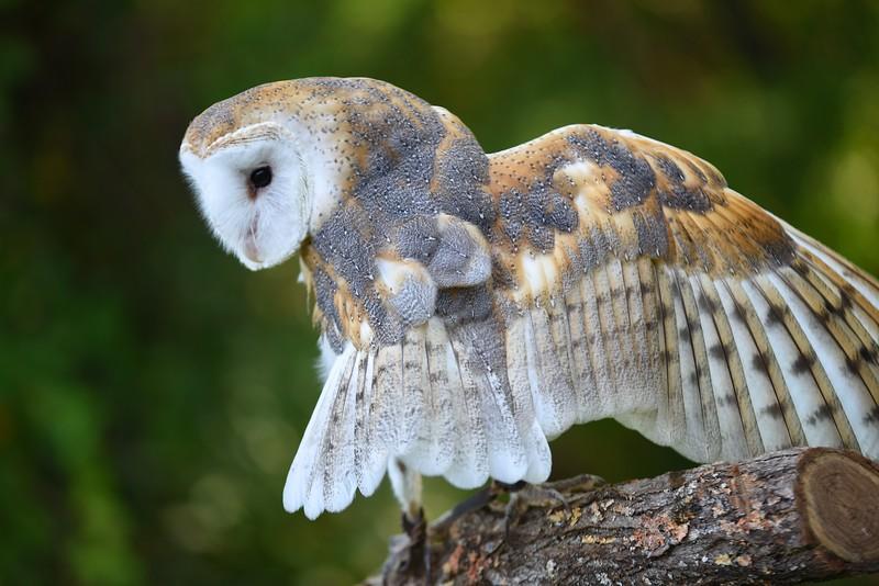 Barn Owl - Jenny Walters (imagesbyjenny@gmail.com - 513.324.6632)