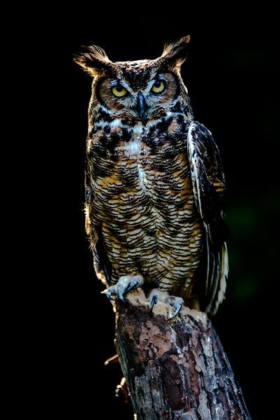 Sylvester Great Horned Owl