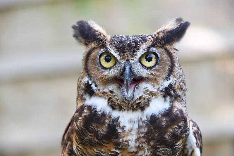 Great Horned Owl - Jenny Walters (imagesbyjenny@gmail.com 513.324.6632)
