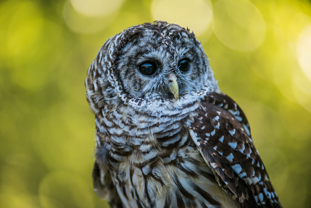Spencer Barred Owl