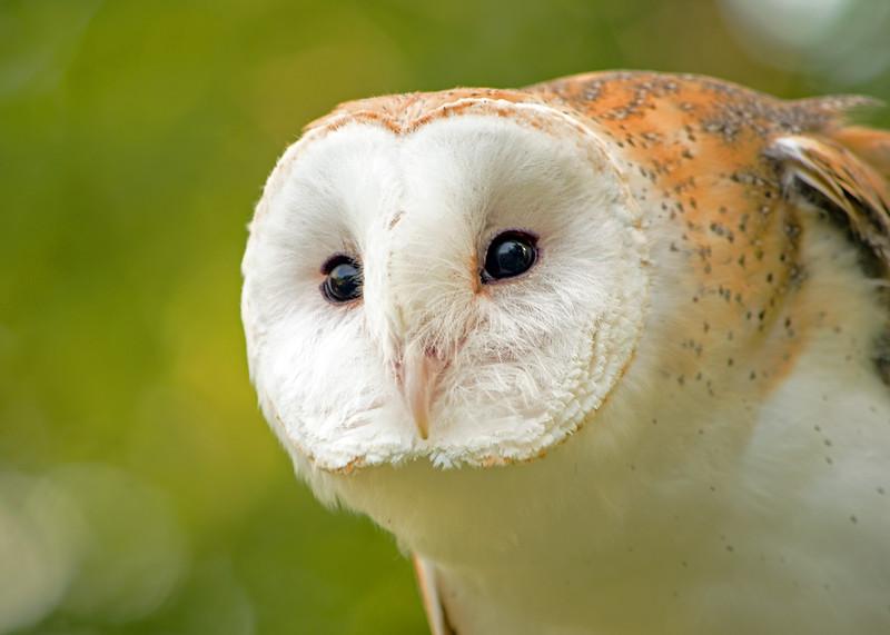 Bara Owl - Randy Smith