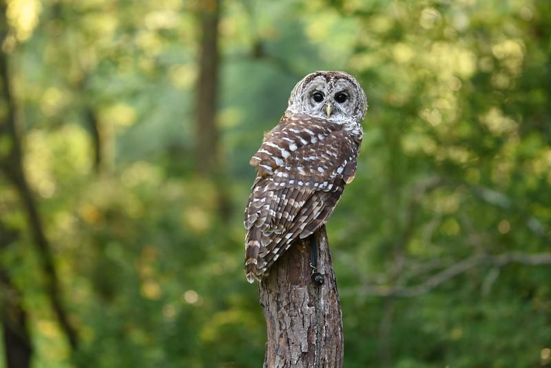 Barred Owl - Jenny Walters (imagesbyjenny@gmail.com 513.324.6632)