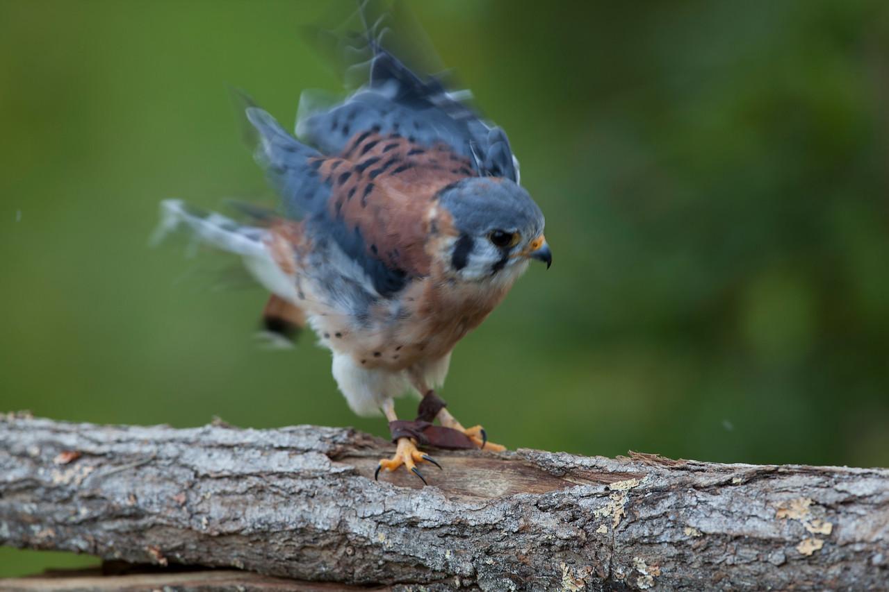 Falco sparverisus - Jiminy