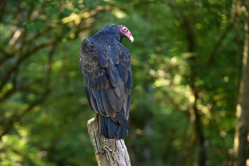 Turkey Vulture - Jenny Walters  (imagesbyjenny@gmail.com 513.324.6632)