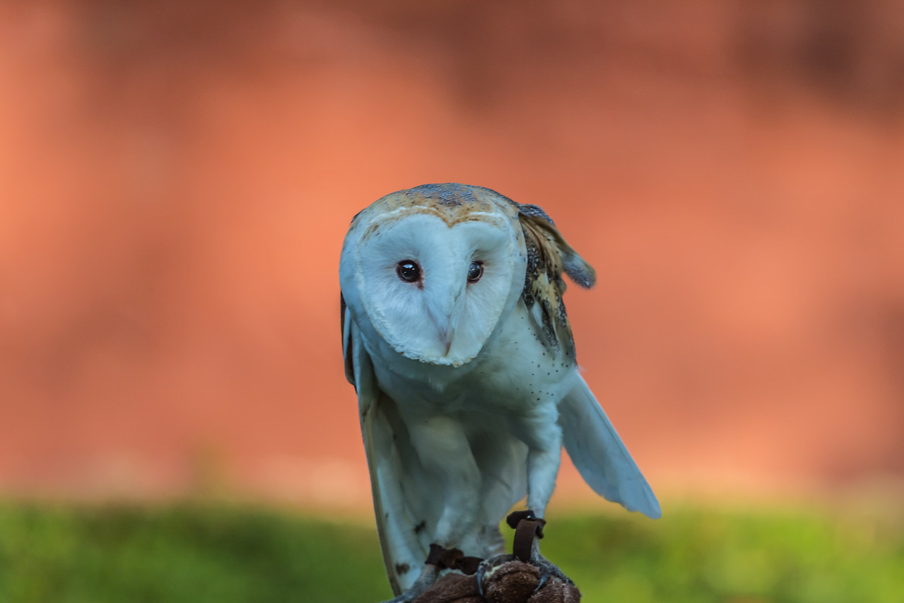 Do you prefer me on a red background? I am a Barn Owl after all.