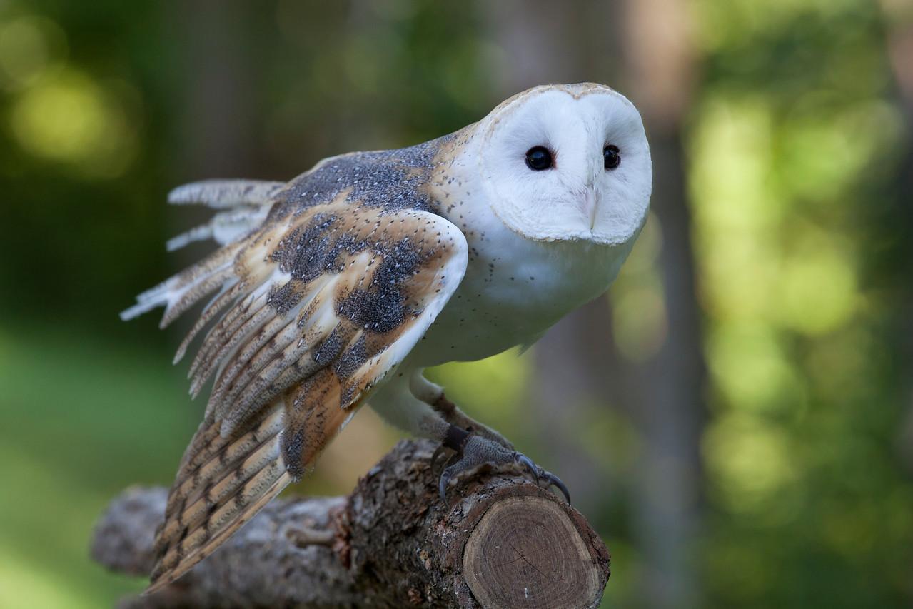 Tyto alba - Storm