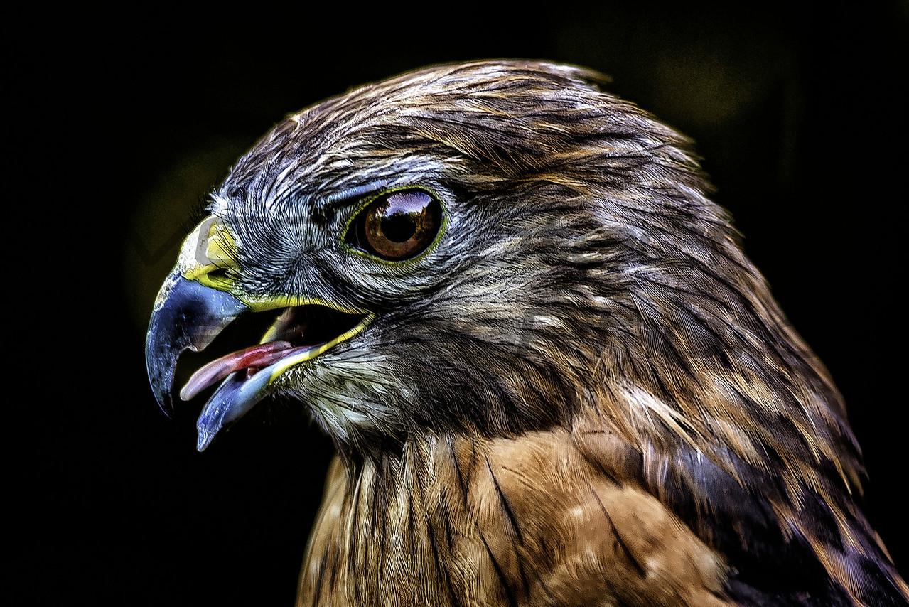 Red Tailed Hawk by Jonathan Neeld -  jn4photo@gmail.com
