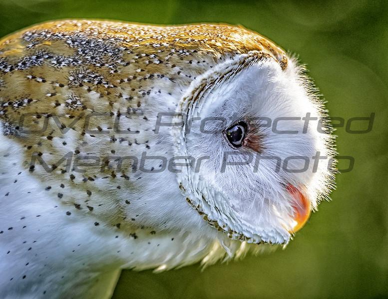 Barn Owl Side by Jonathan Neeld -  jn4photo@gmail.com