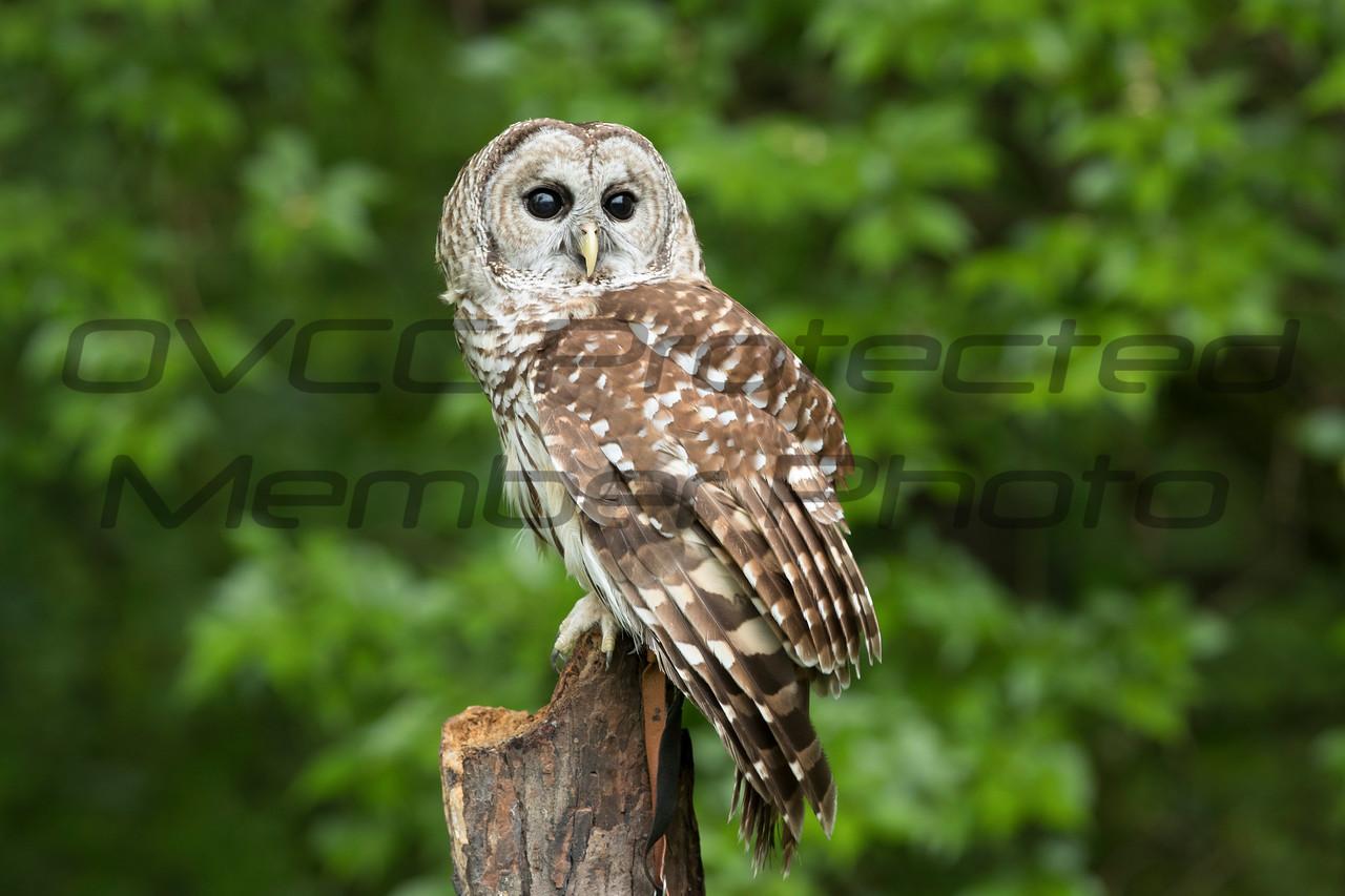 Barred Owl - Jim McMillan / jimmmcillan@prodigy.net