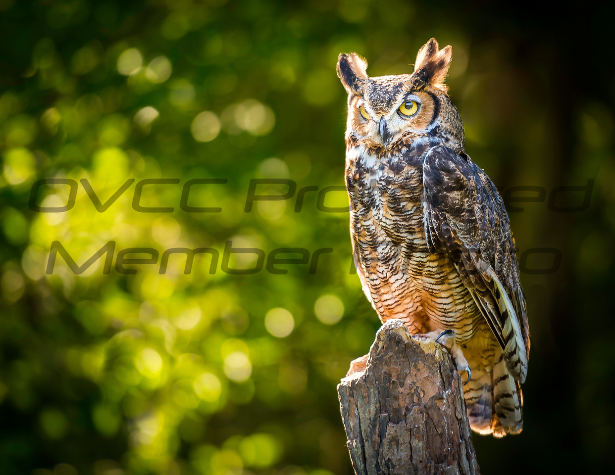 Great Horned Owl in the Sun  by Jonathan Neeld - jn4photo@gmail.com