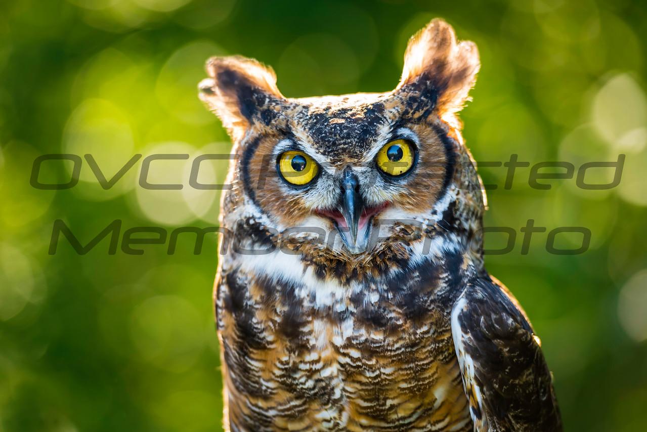 "Great Horned Owl having a ""Hoot""  by Jonathan Neeld -  jn4photo@gmail.com"