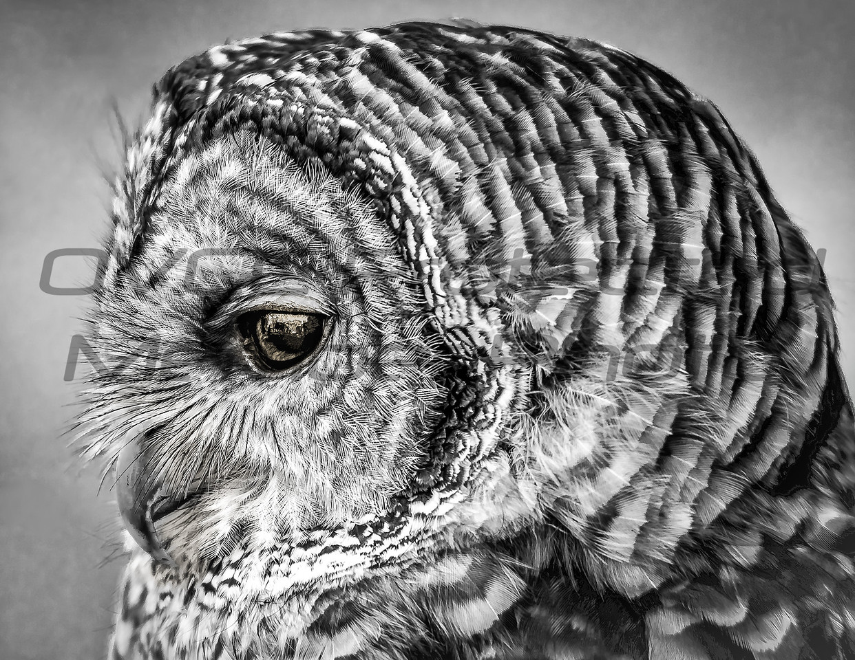 Barred Owl Side B&W by Jonathan Neeld -  jn4photo@gmail.com