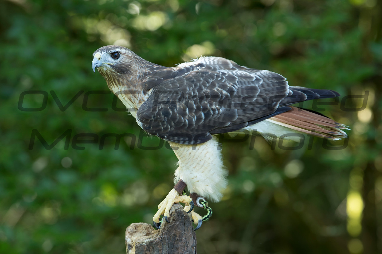 Red-tailed Hawk - Jim McMillan / jimmmcillan@prodigy.net