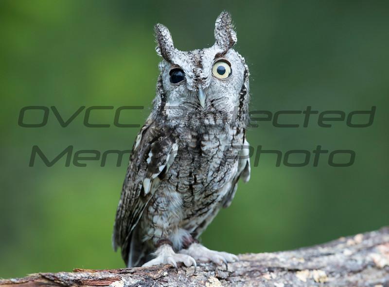 Screech Owl - Jim McMillan / jimmmcillan@prodigy.net