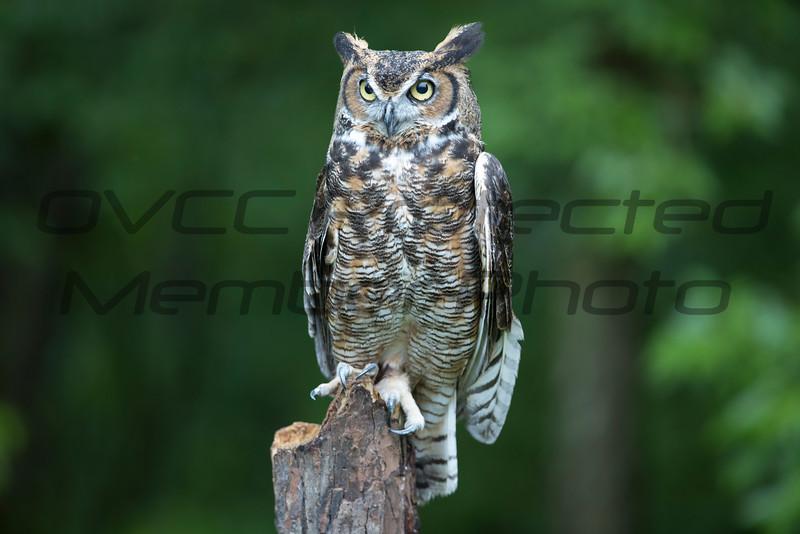 Great Horned Owl - Jim McMillan / jimmmcillan@prodigy.net