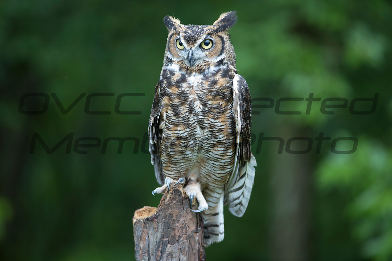 Great Horned Owl - Jim McMillan / jimmmcillan@prodigy.net
