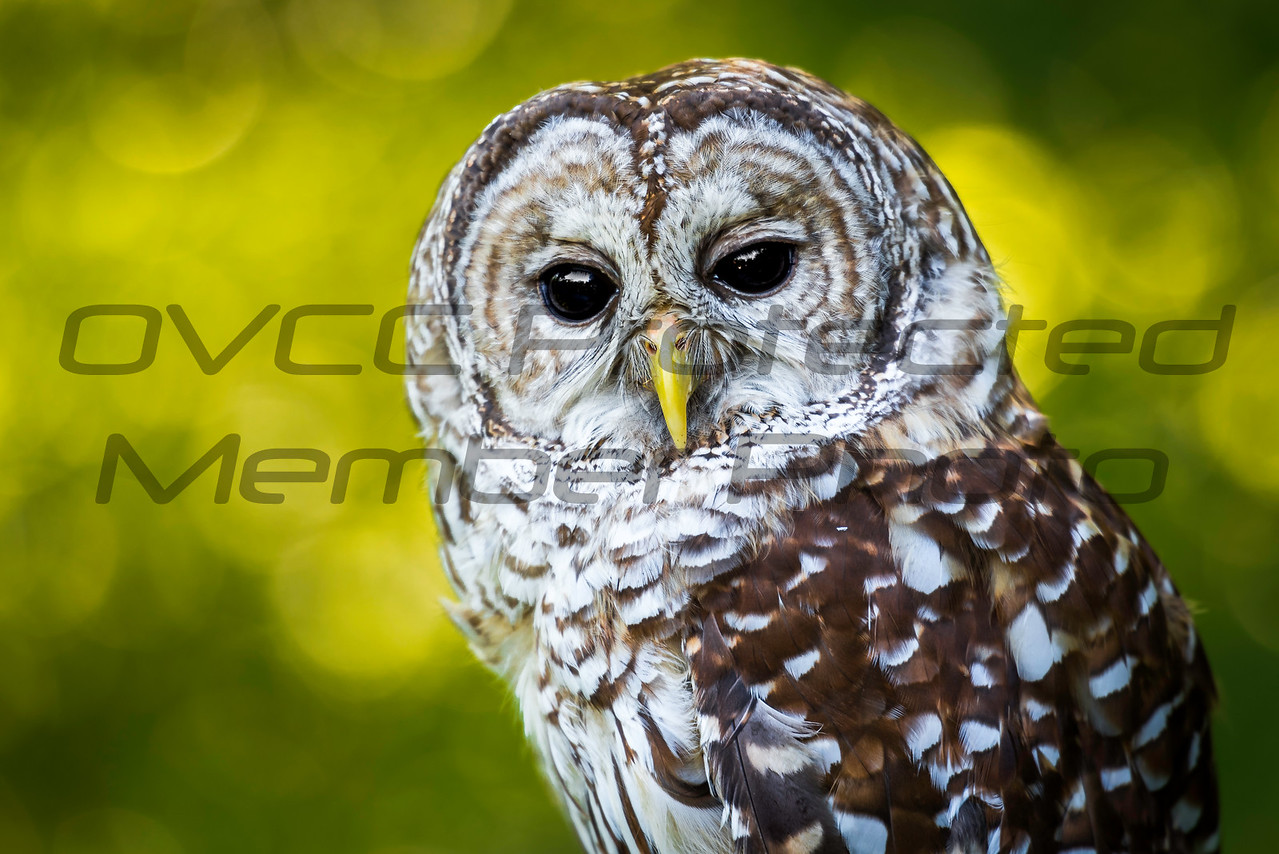 Barred Owl by Jonathan Neeld - jn4photo@gmail.com