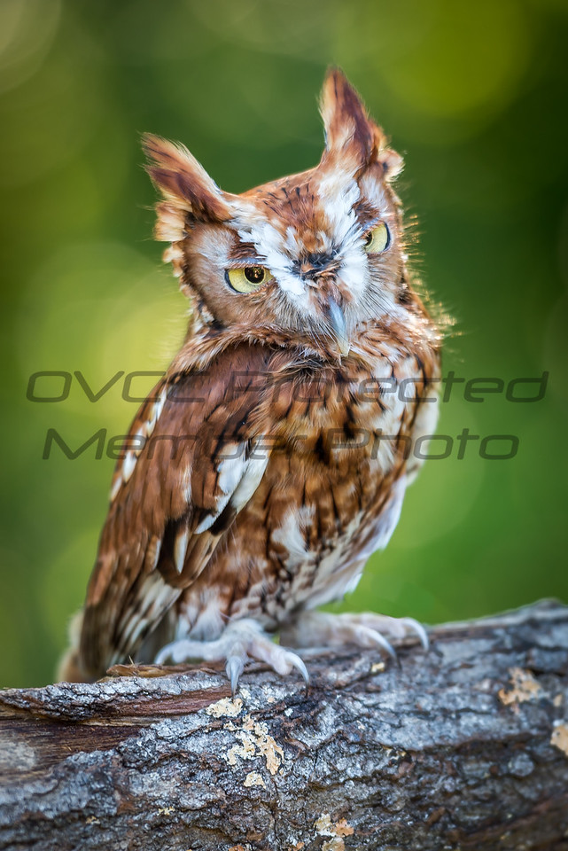 Eastern Screech Owl by Jonathan Neeld - jn4photo@gmail.com