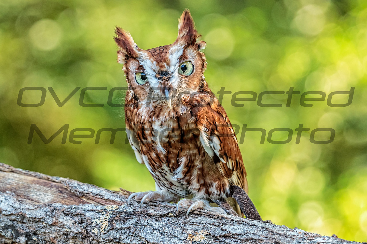 Eastern Screech Owl submitted by Brian Singleton - lpd5358@yahoo.com