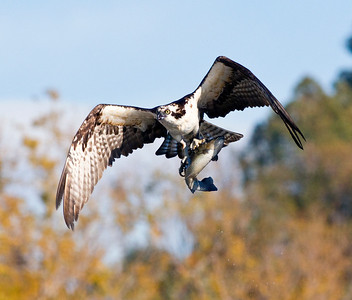 _EGK6409 Osprey vs trout