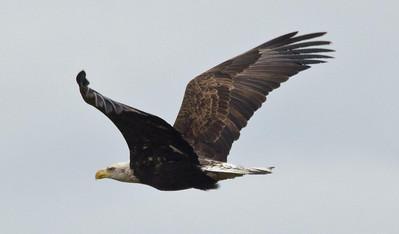 EGK_9556 Bald Eagle